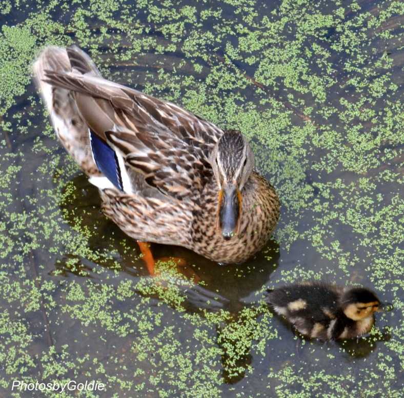 Mother and duckling
