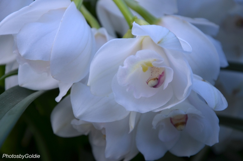 White Orchids1