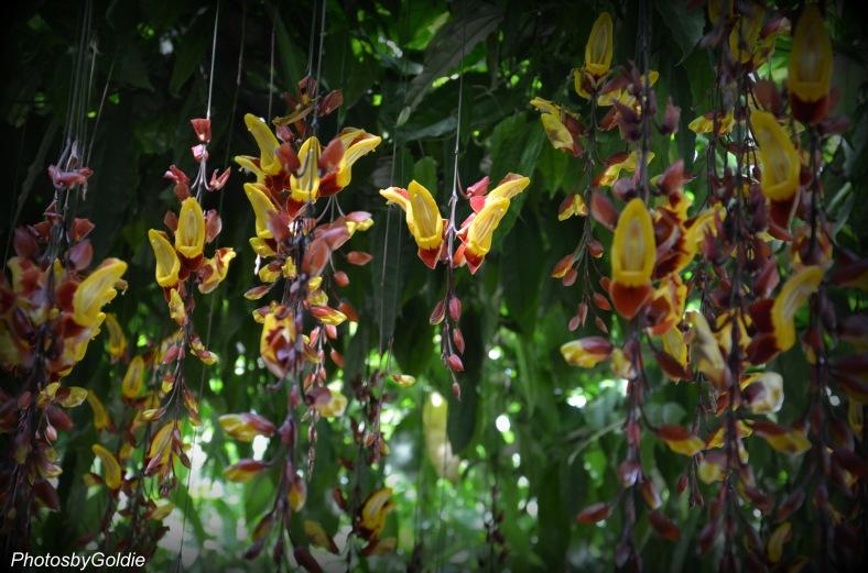 Thunbergia Mysorensis2