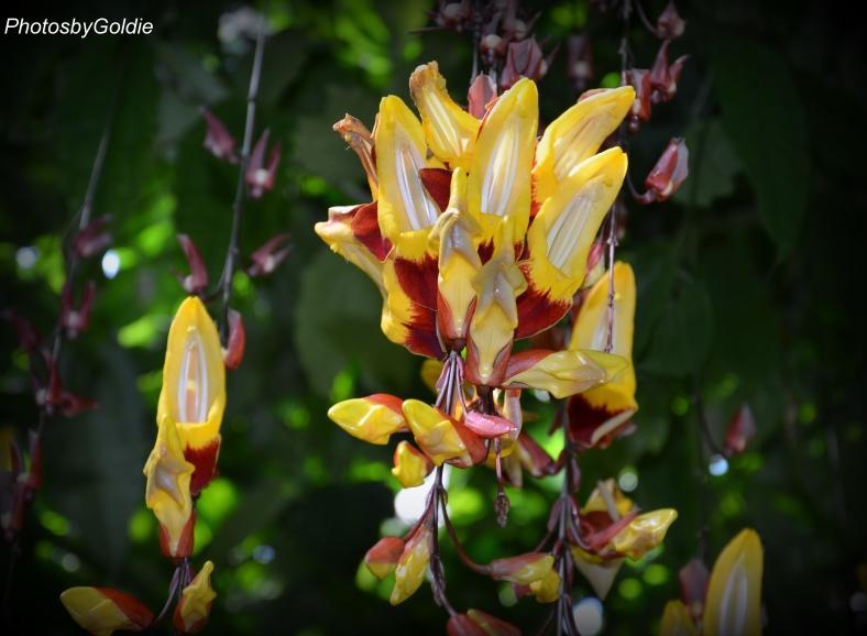Thunbergia Mysorensis3