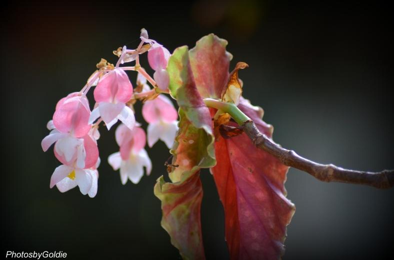Matchmaker Begonia