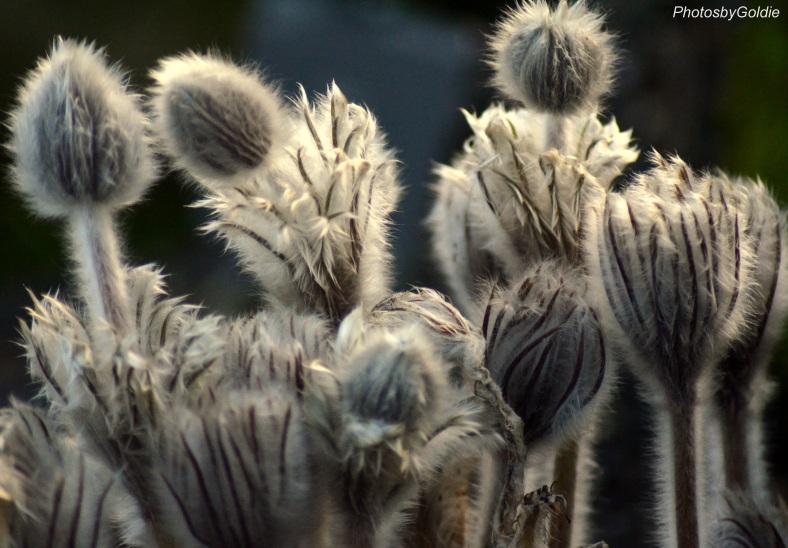 anemoni-halleri