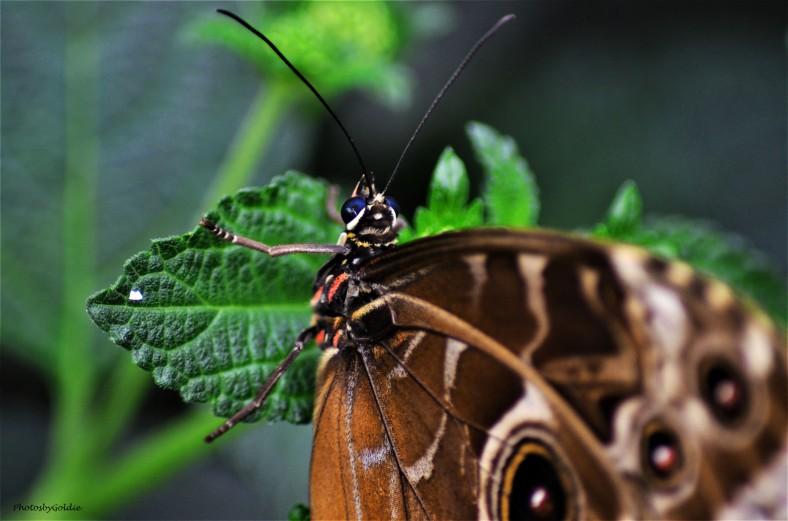 Butterfly (I)a
