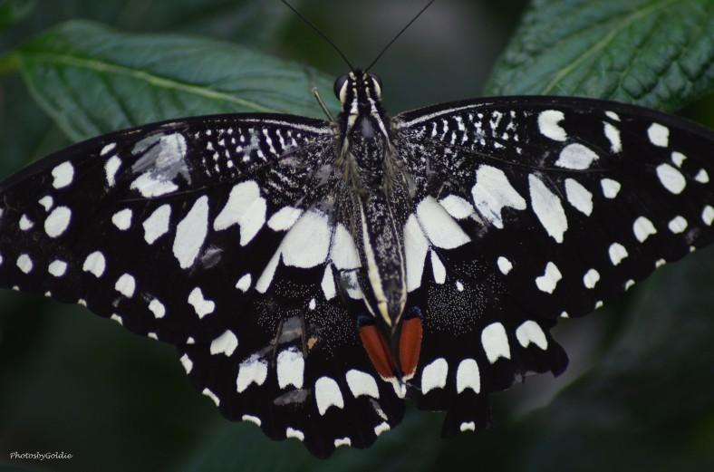 Butterfly (II)a