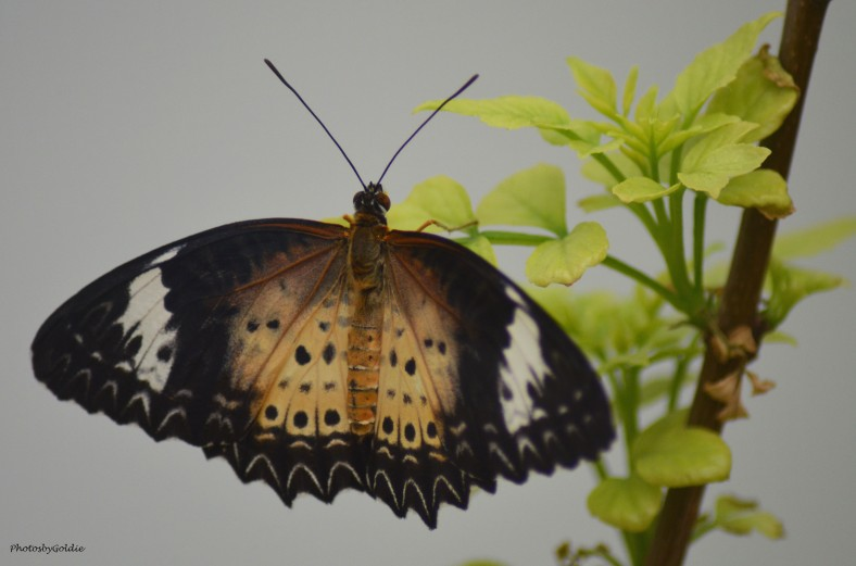 Butterfly (III)a