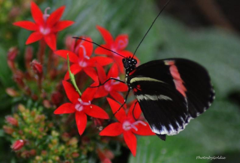 Butterfly (VI)a