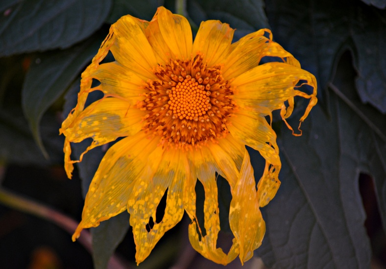 Mexican Sunflower2